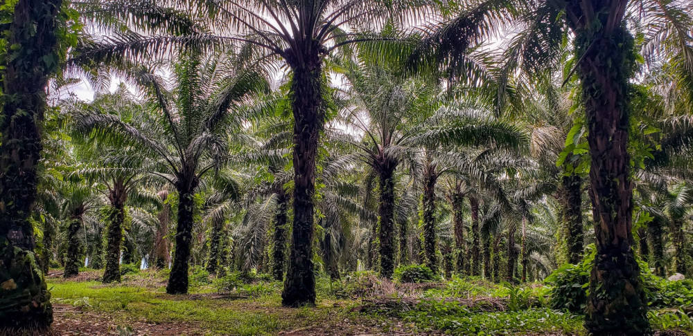 oil palm trees png